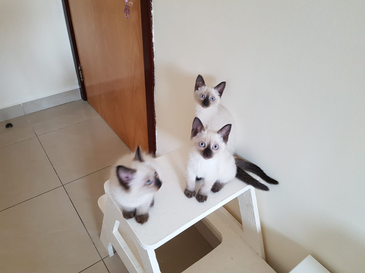 Siamese Kitten Available