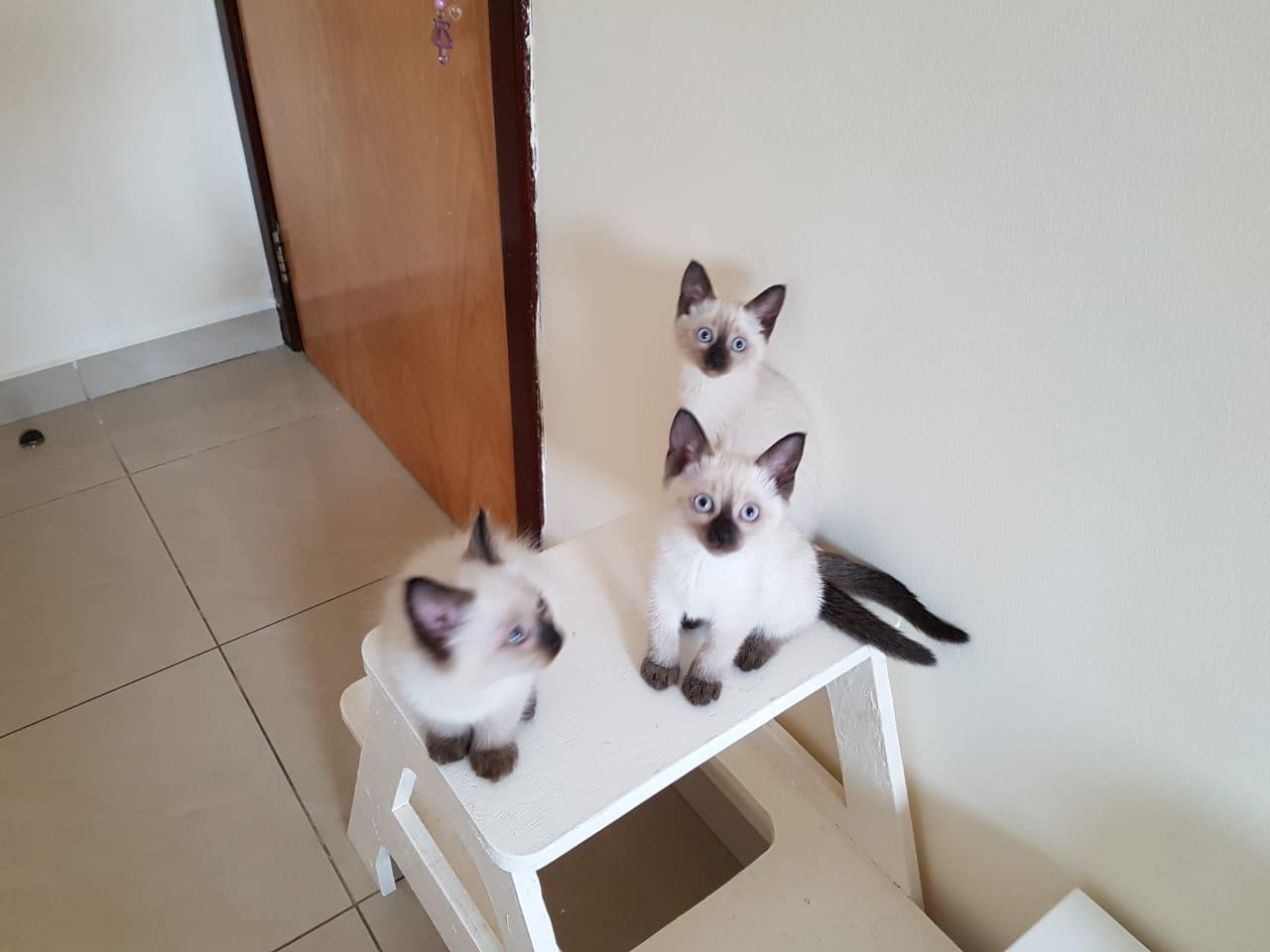 Siamese Kitten Available
