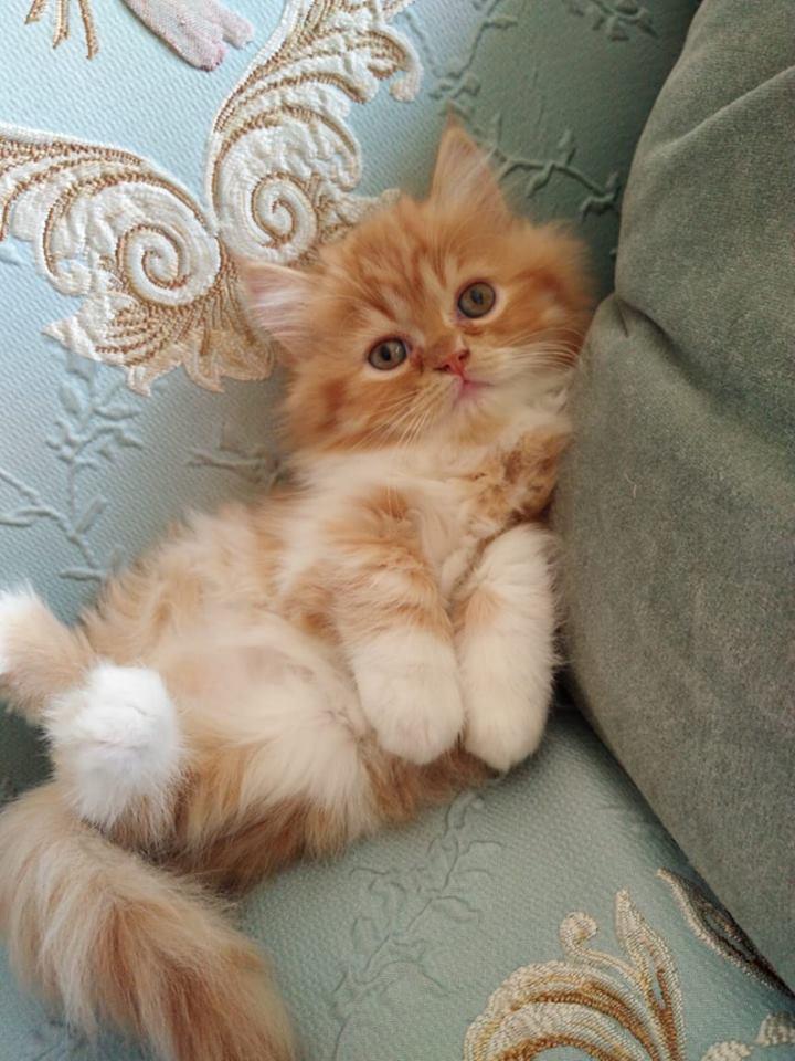 Persian Kitten -