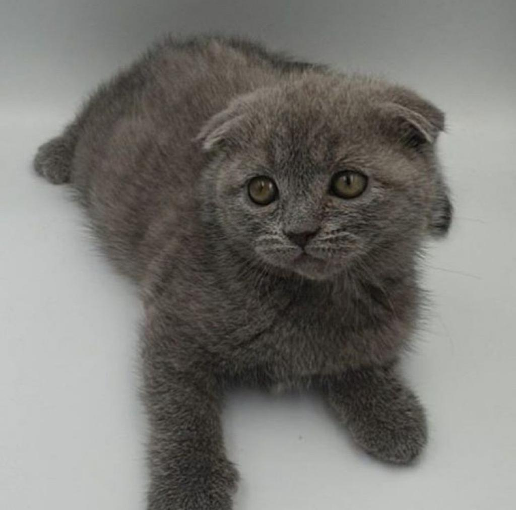 Available Pet - Scottish Fold