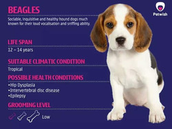 Beagle Puppy Available