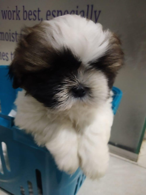 Cutest shihtzus available