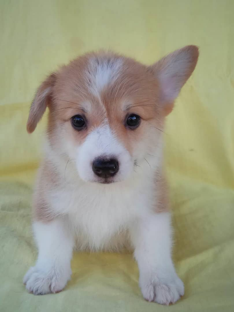 Corgi Puppy Available