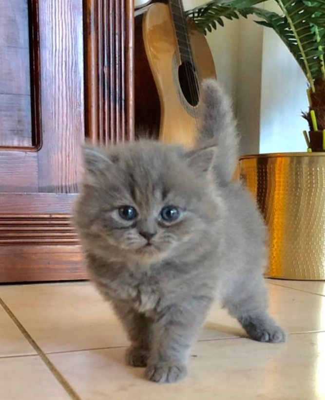 Grey Persian Kitten -