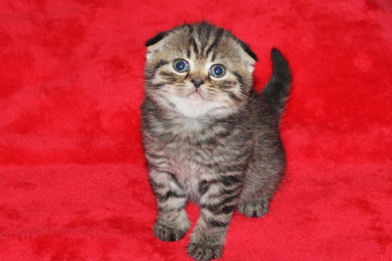 Scottish Fold Kitten Available