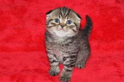 Scottish Fold Kitten Available