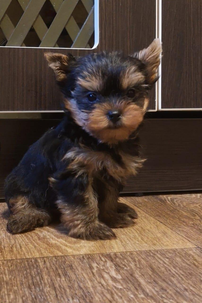 Mini Yorkshire Puppy