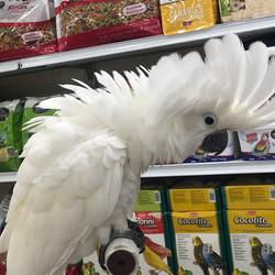Amberalah cockato - 7500