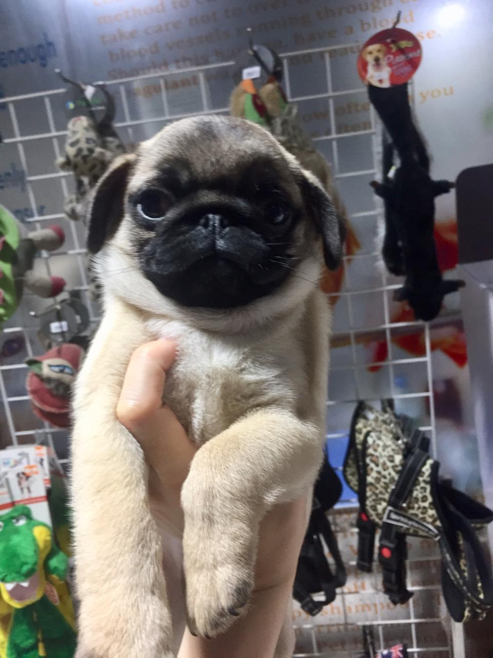 Pug Male