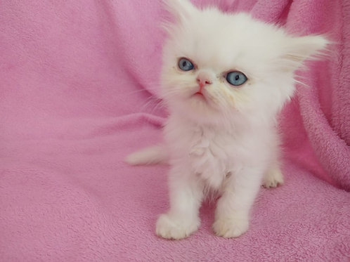 Punch face Female Persian