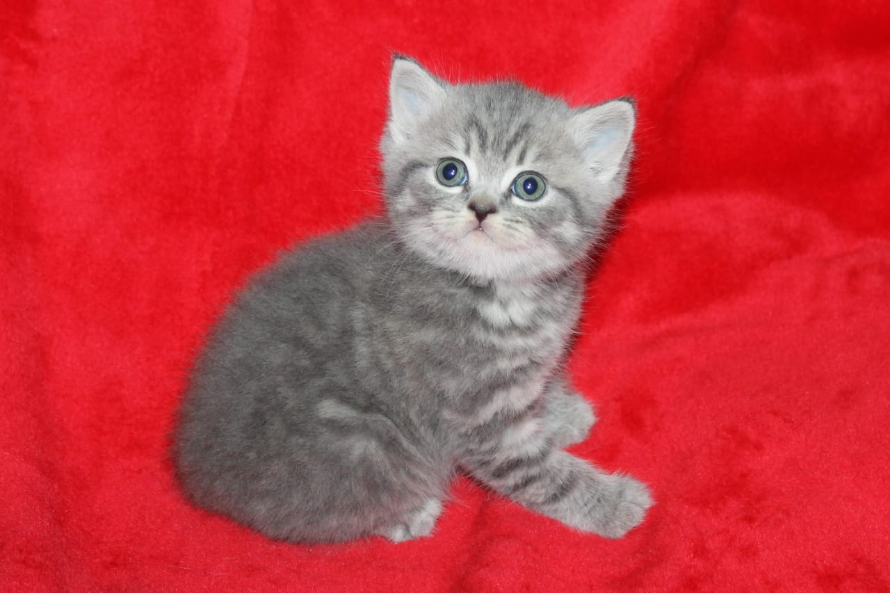 Tabby British short hair kitten