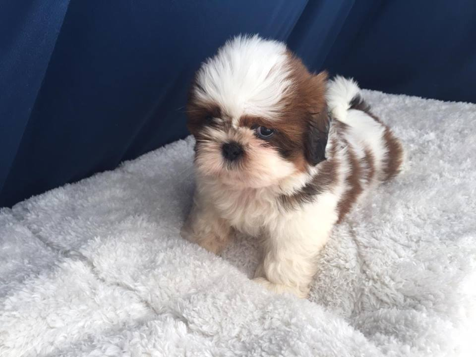shihtzu available