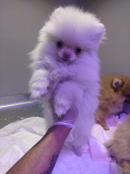 Tea Cup Pomeranian Boy