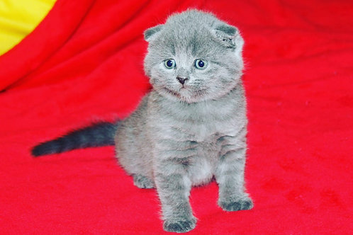 Scottish Fold Male Kittens