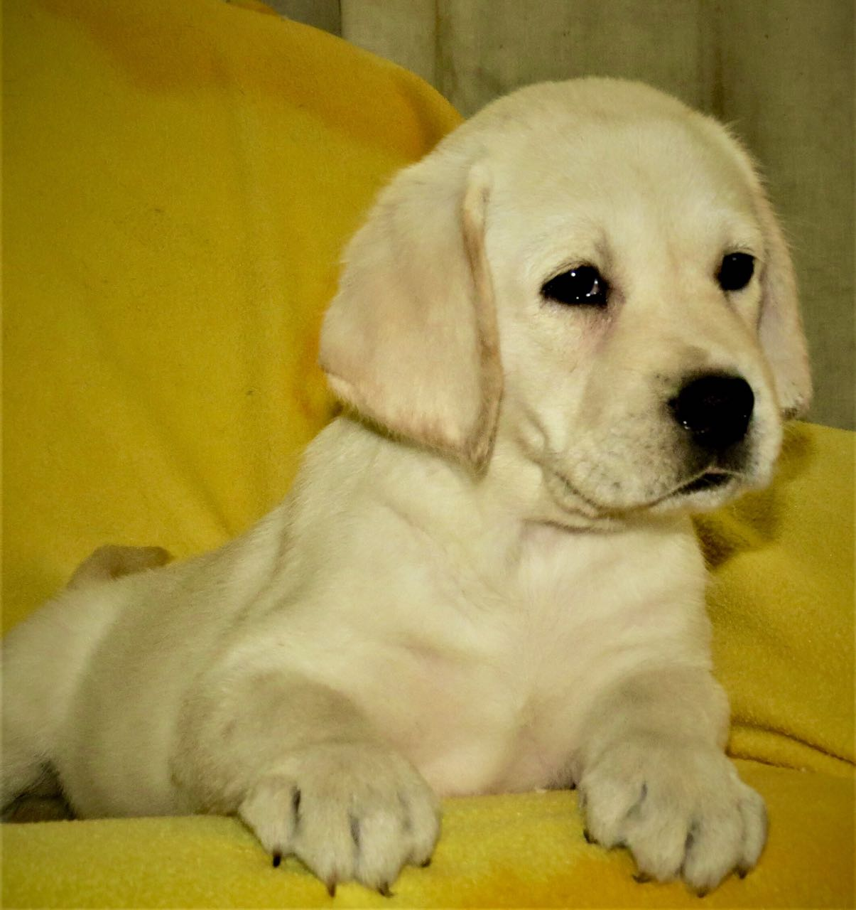 Labrador Puppy Available
