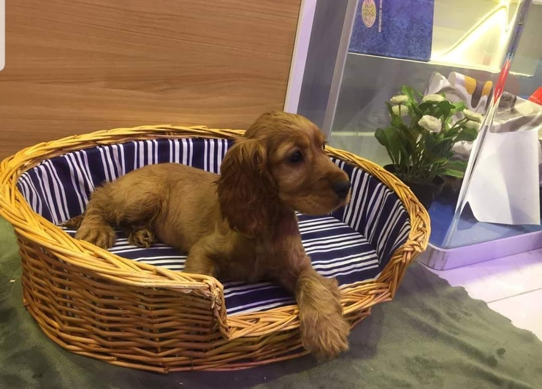 Cockier Spaniel Available