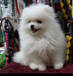 Pets Available - Toy Pom