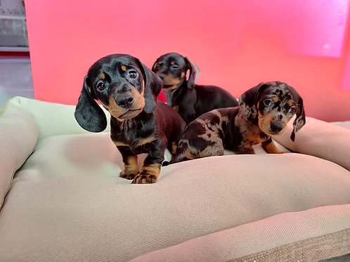 Miniature Dachshund Male puppies available