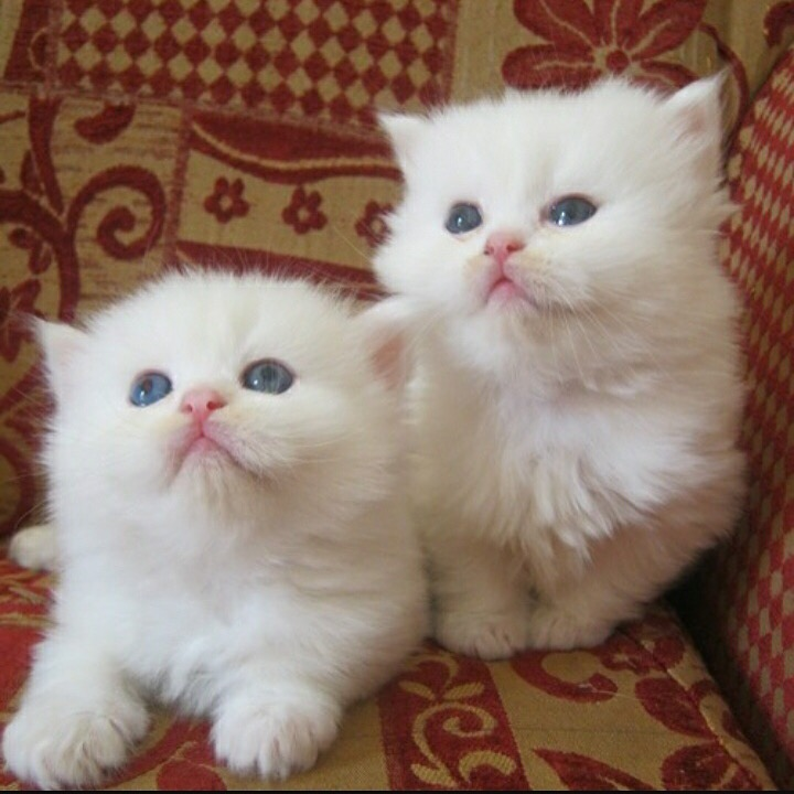 White Persian - 2500AED