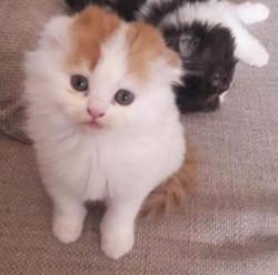 Pets Available - Scottish Fold
