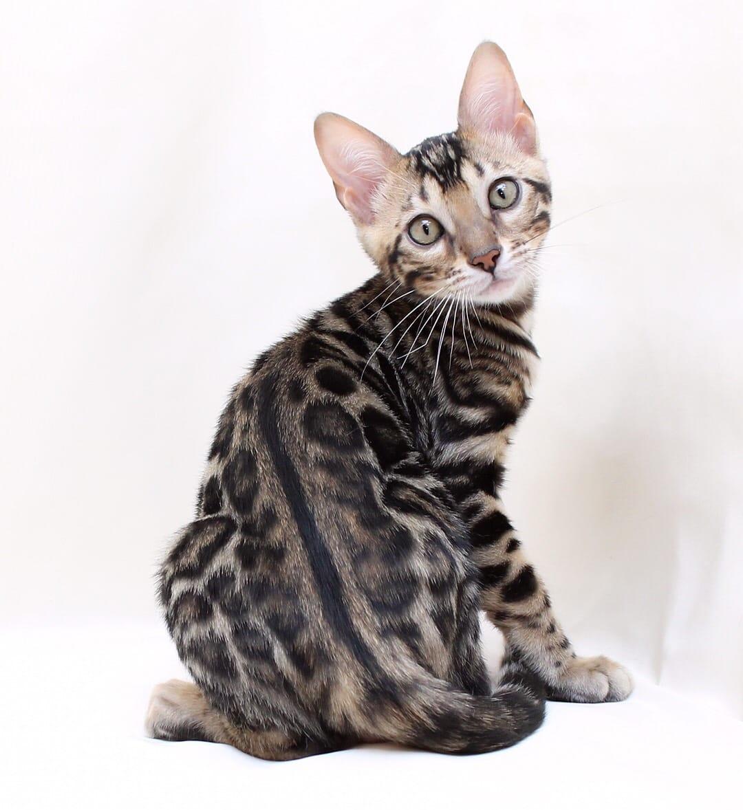 Bengal Male Kitten