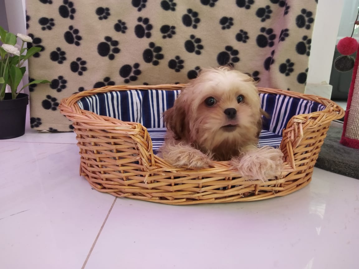 Shihtzu Female
