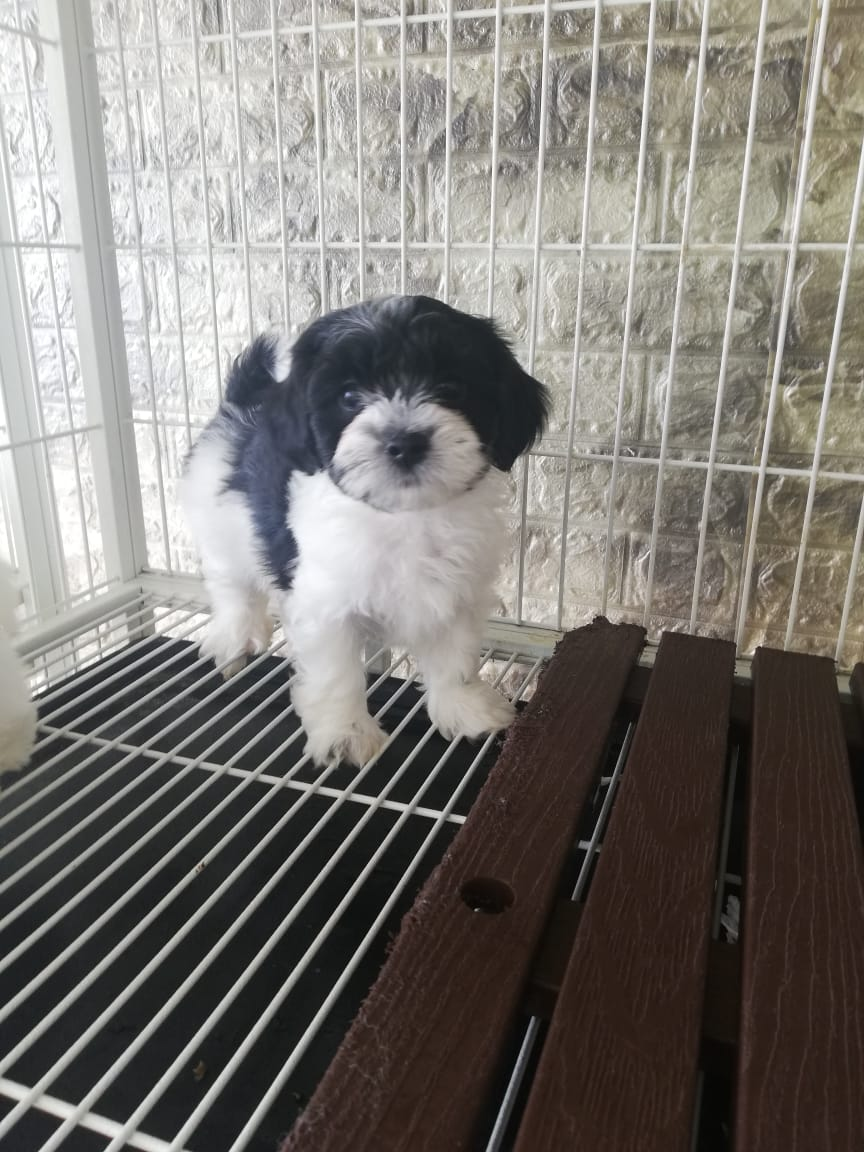 Havanese Female Pup