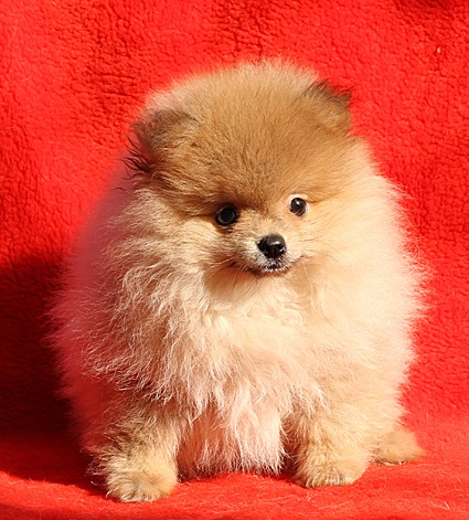 Pomeranian -