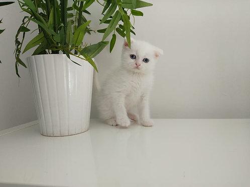 White Scottish Fold Female