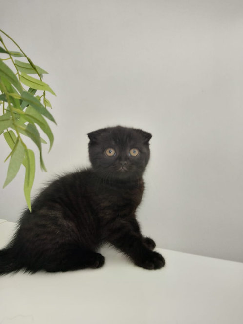 Scottish fold Male kitten
