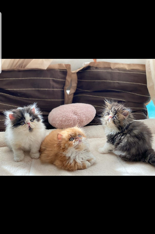 Extreme punch persian kittens