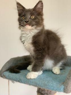 Mainecoon Kitten -