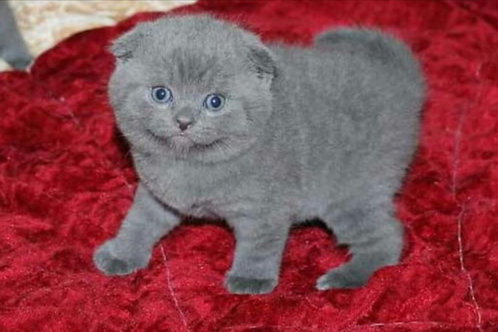 Scottish fold kitten available now