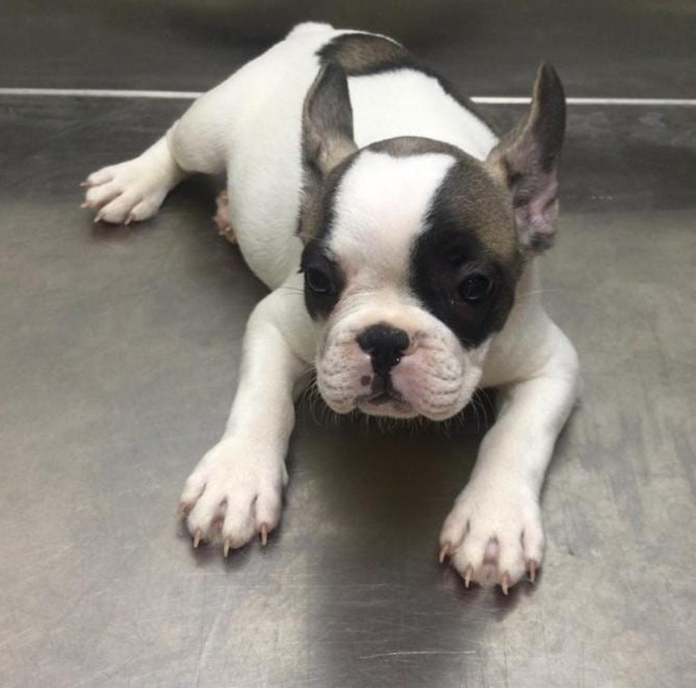 Pets Available - French Bulldog Fema