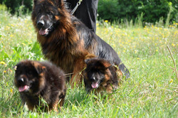 Gsd Father With Kids
