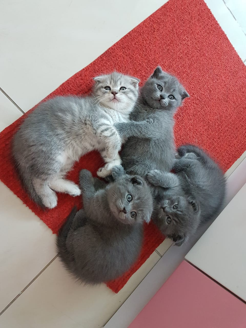 Scottish Fold Kitten - 3000AED