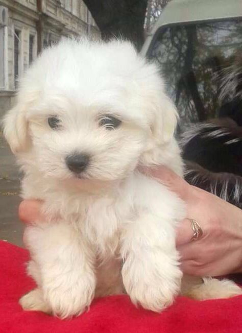 Mini Maltese Puppy