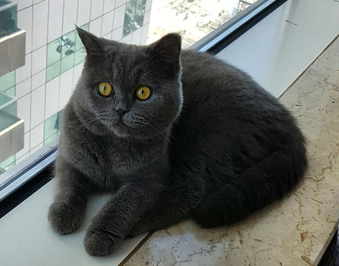 Mother British Cat