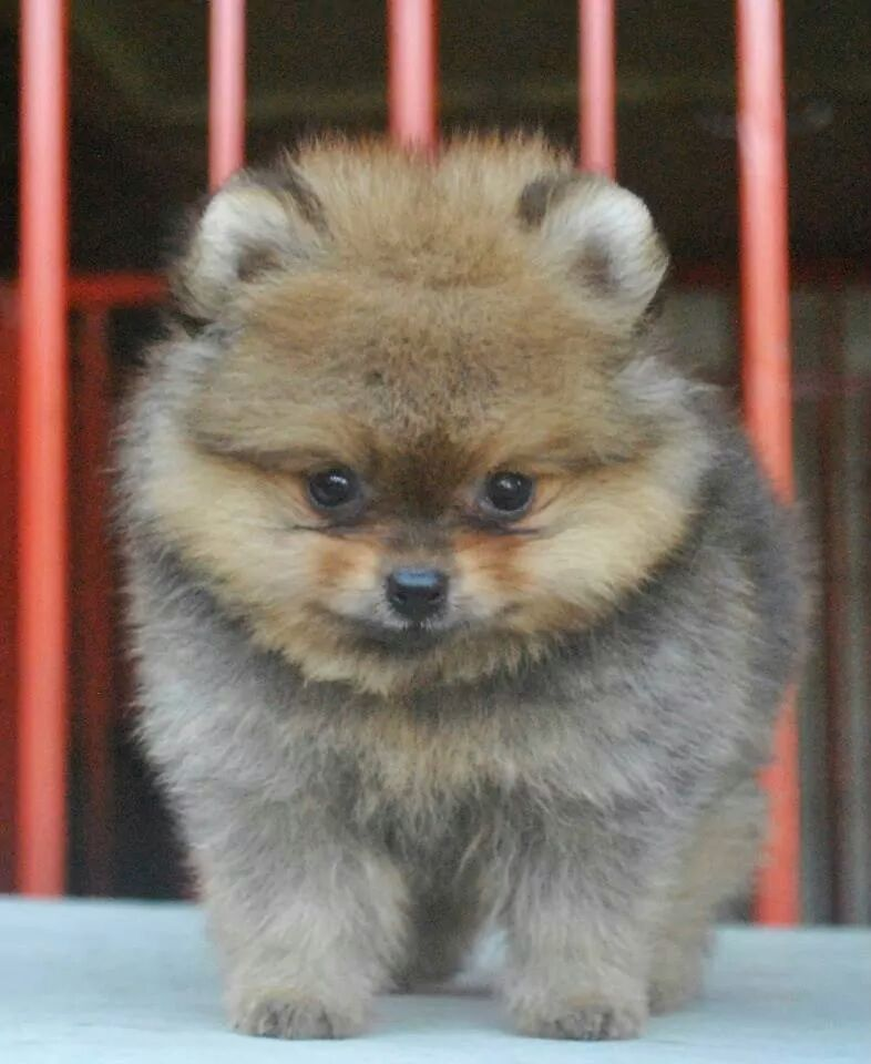 Pets Available -Tea Cup Pom