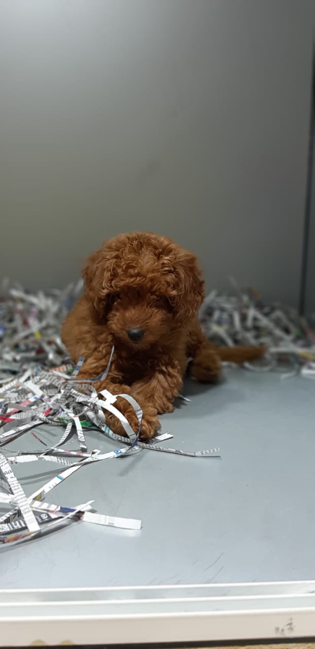 Pets Available -Toy Poodle Puppy