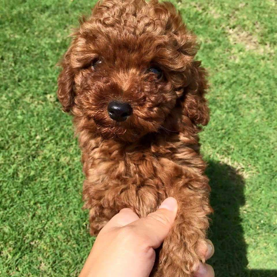 Toy Poodle Puppy