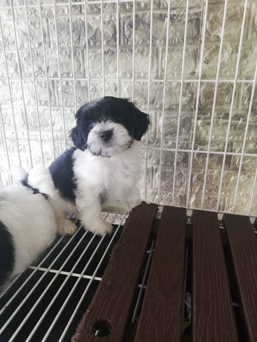 Havanese Female Puppy