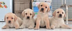 Labrador Puppy Available