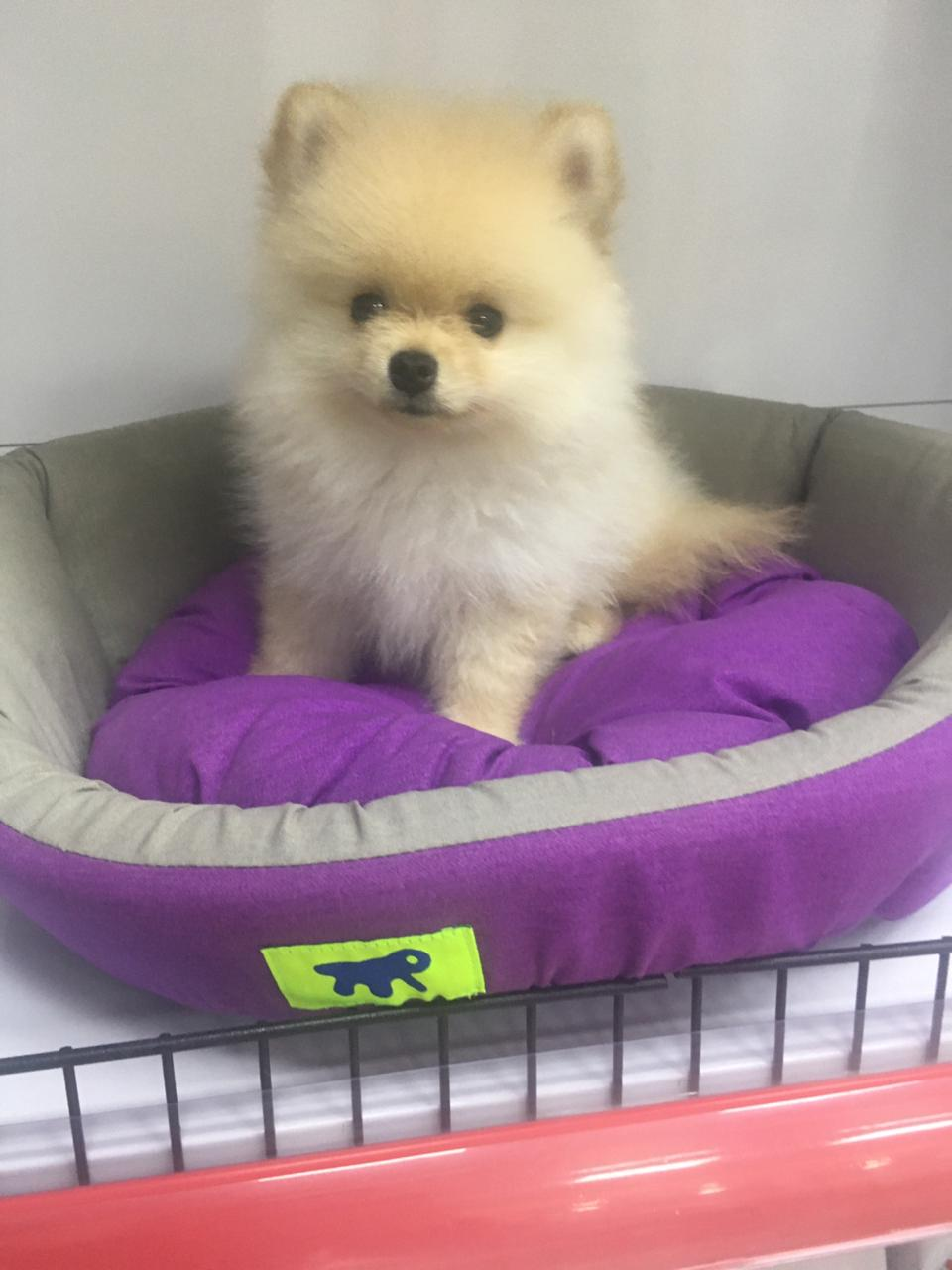 Pomeranian Puppy - 9500AED
