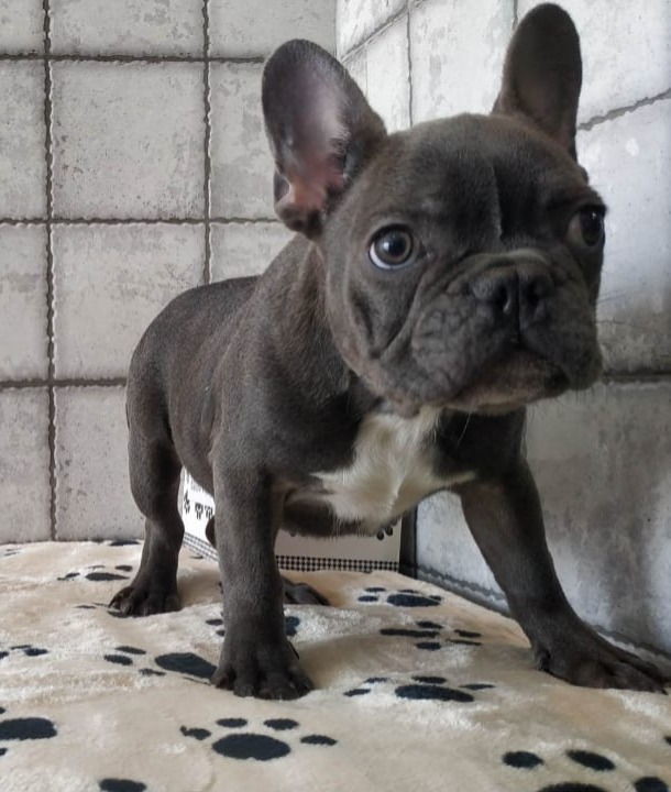 Blue French Bulldog - 5500
