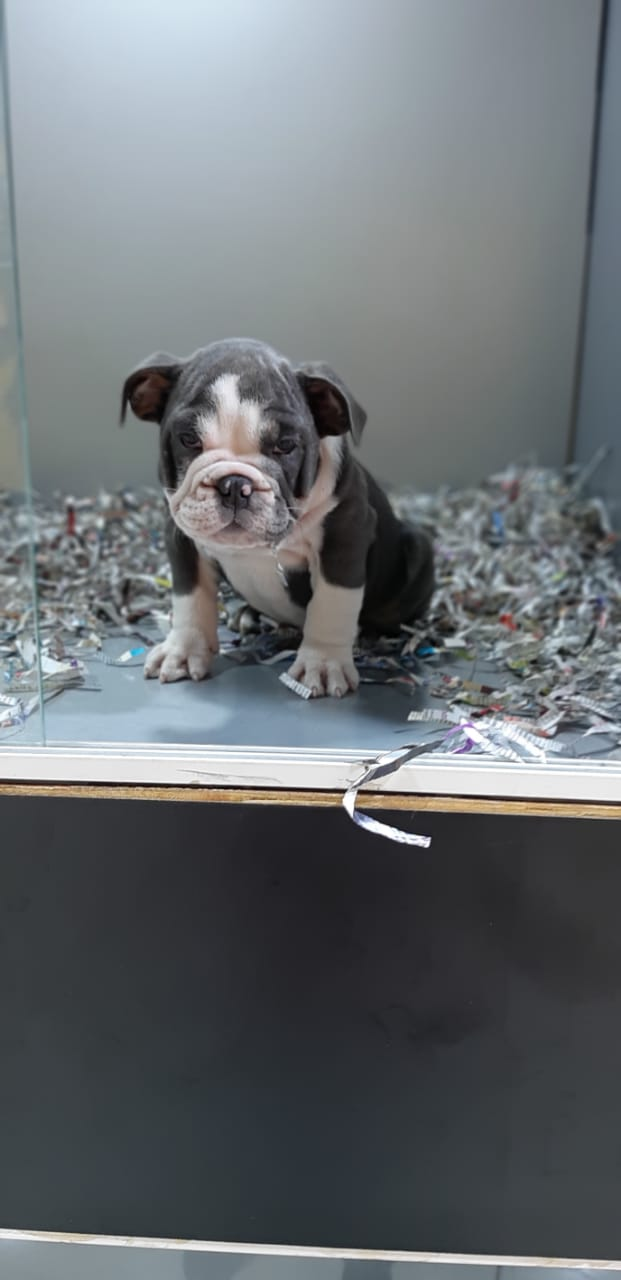 Pets Available - English Bulldog