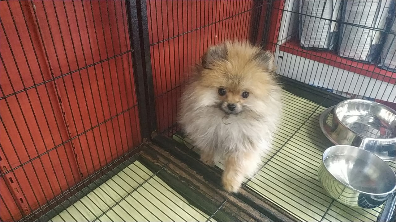 Pomeranian Puppy - 9000AED