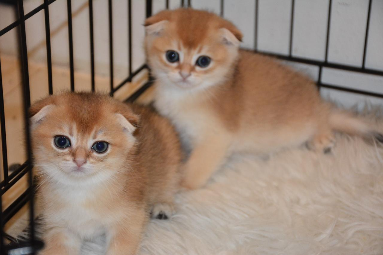 Gold Chinchalla Scottish Fold - 5500