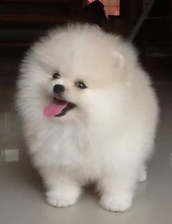Mini Pomeranian -