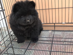 Pets Available - Chowchow